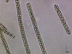 cyanobacterie-plantotris-250x180