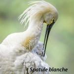 Faune_spatuleblanche1