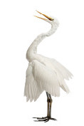 Marques Pages - aigrette