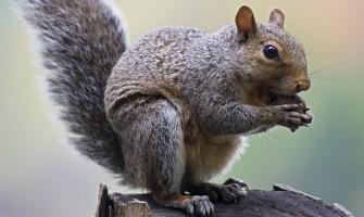 Eastern Gray Squirrel - Eating nuts in tree  (Sciurus carolinensis)     Date: