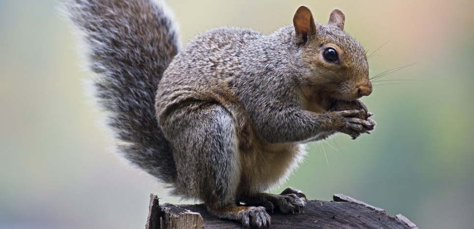 Eastern Gray Squirrel - Eating nuts in tree  (Sciurus carolinensis)     Date: