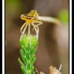 libellule-jaune-webG