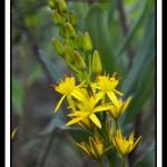 fleur-jaune-webG