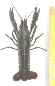 procambarus-virginalis-2-ecrevisse-marbree-c-marc-collas-afb-centre-de-ressources-eee-193x300